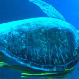 Turtle at Manza Mo