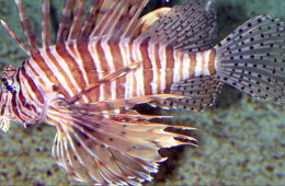 Roatan Lionfish Hunt