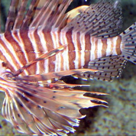 Roatan Lionfish Hunt